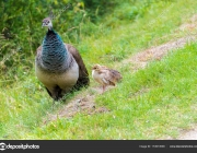 Female Peacock with babies