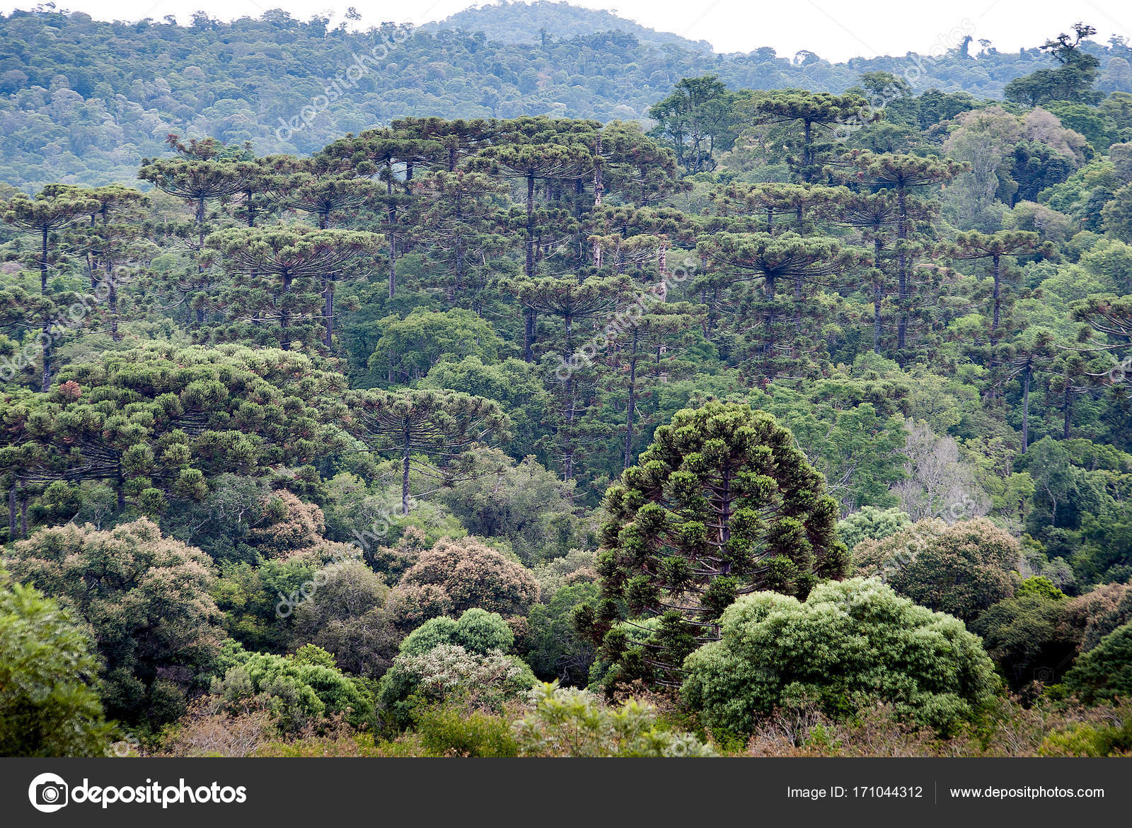 Araucaria forest in the Mountains