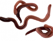 Worms - REQUEST