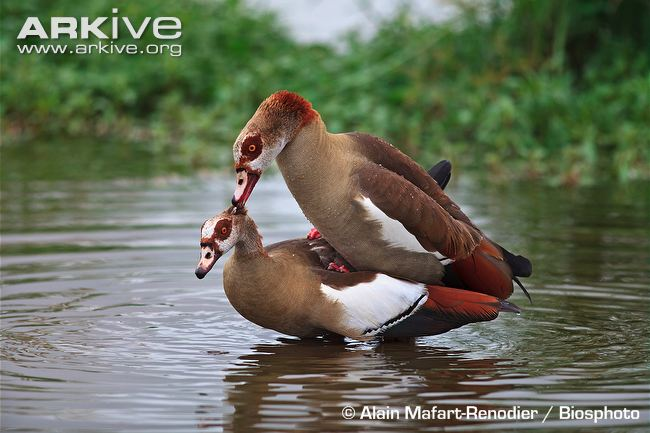 ARKive image GES142701 - Egyptian goose