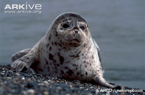 ARKive image GES106866 - Spotted seal