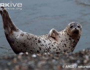ARKive image GES106867 - Spotted seal