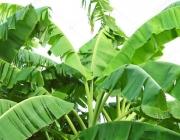 Haste da Bananeira com Suas Folhas 1