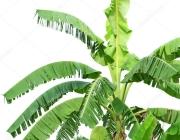 Haste da Bananeira com Suas Folhas 2