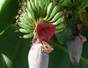 Inflorescência  da Bananeira 1