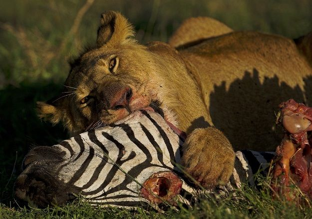 A lioness feeds on a zebra carcass at the Naboisho conservancy in the Masai Mara on March 6, 2014. AFP PHOTO/CARL DE SOUZA