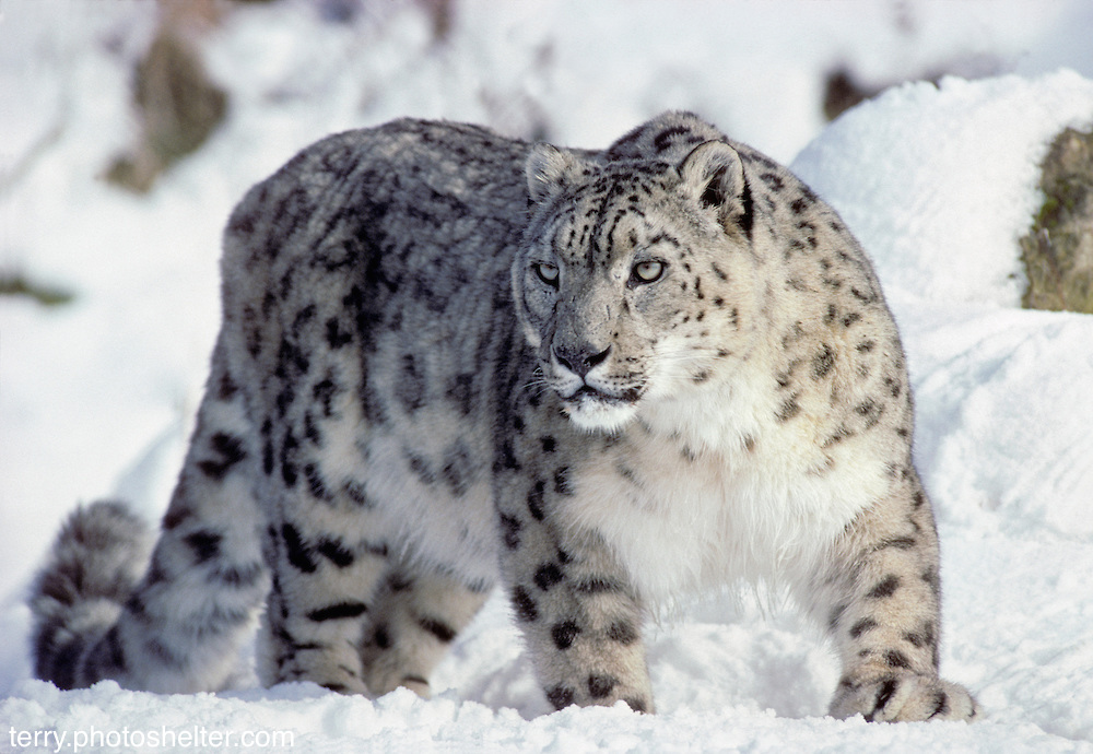 Male snow leopard (Uncia uncia)