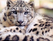 Leopardo-das-Neves 1