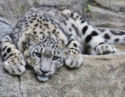 Leopardo-das-Neves 3