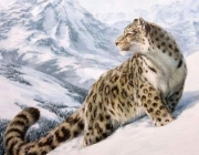 Leopardo-das-Neves 5