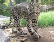 Leopardo Persa 1