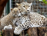 Two-and-a-half-month-old Persian leopard cub Chui, left, and her nine-year-old mother Cezi, seen in their enclosure, in Budapest Zoo, Hungary, Wednesday, Dec. 17, 2008. (AP Photo/MTI, Attila Kovacs)