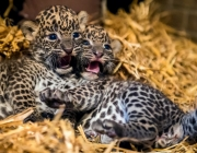 Two female Sri Lankan leopard cubs, born on July 1, 2014, lay in their cage in the zoo of Maubeuge, northern France, on July 29, 2014. The Sri Lankan leopard is a threatened species, with an estimated 700 living in the wild and 65 in captivity. AFP PHOTO / PHILIPPE HUGUEN