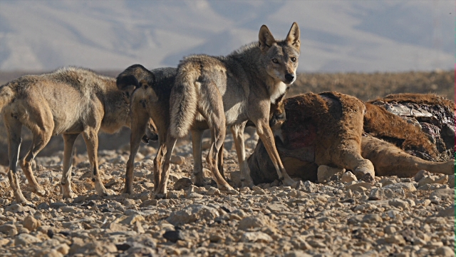 The??Arabian wolf??(Canis lupus arabs) is a??subspecies of grey wolf??which was once found throughout the Arabian Peninsula, but now only lives in small pockets in southern??Israel, southern and western??Iraq,??Oman, Yemen,??Jordan,??Saudi Arabia, and probably some parts of the??Sinai Peninsulain??Egypt.