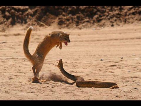 Mangusto  Predador Natura da  Surucucu do Papo Amarelo 3