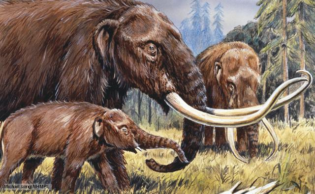 Mammut americanum 'American mastodont', found on the American continent from Alaska to Mexico during the Pliocene and Pleistocene 5.3 million to 10,000 years ago. Illustration by Michael Long.
