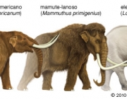 Mammoth/Mastodon mammoth/mastodon/african elephant jmammal145j4 575 x 225 christine m mccabe 5th of june, 2006