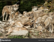 A pack of wolves on a rock