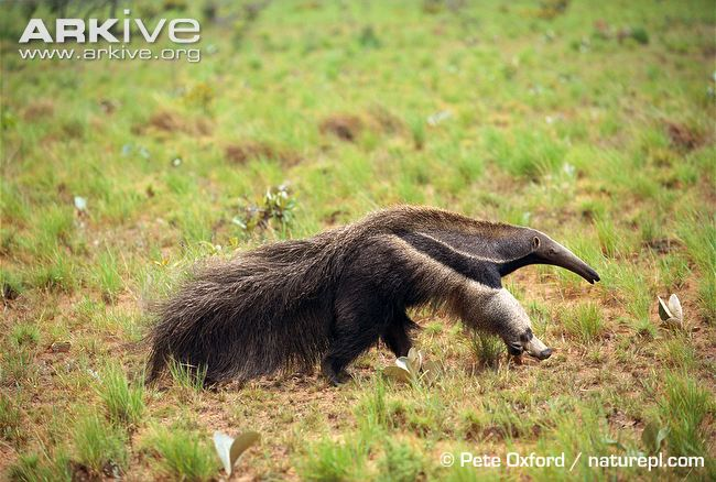 ARKive image GES001572 - Giant anteater