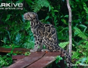 ARKive image GES066284 - Diard's clouded leopard