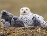 Snowy Owl Female and Owlets (1813)