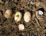 Ovos de Jabuti 5