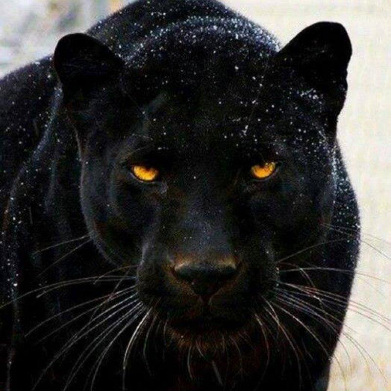 Pantera Negra 4