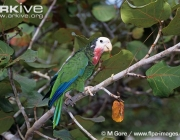 ARKive image GES024963 - Cuban Amazon