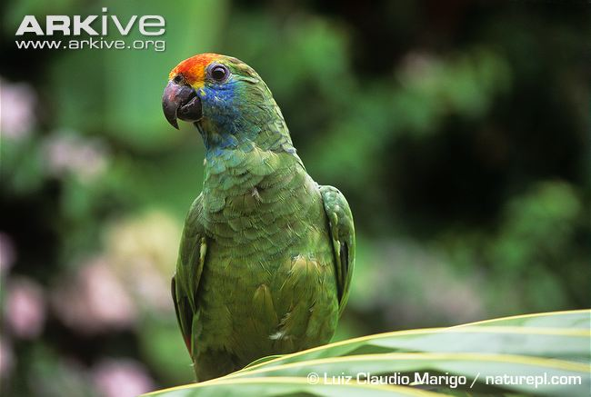 ARKive image GES022489 - Red-browed Amazon