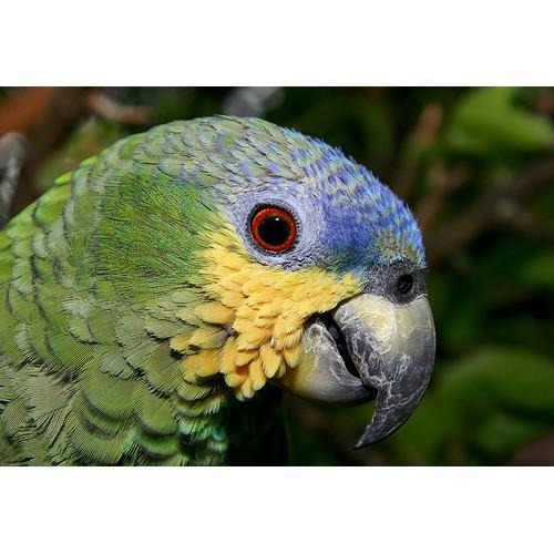 Papagaio-do-Mangue 1
