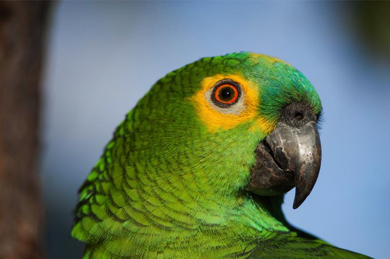 Papagaio 6