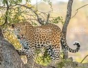 Leopard in a tree in the Kruger National Park, South Africa.