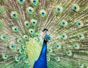 Beautiful Indian peafowl - Pavo cristatus - male (peacock) displaying