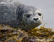 ARKive image ARK024420 - Common seal