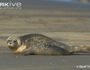 ARKive image ARK002811 - Common seal