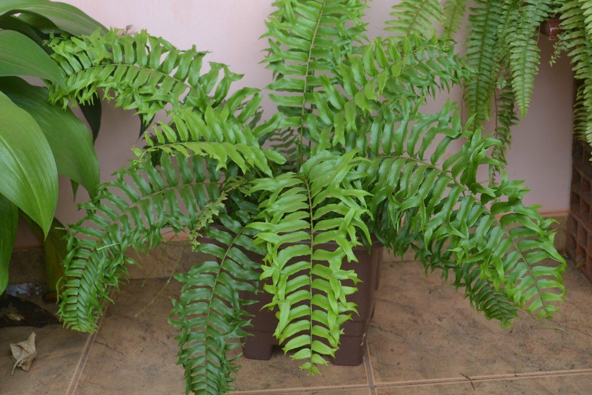 Planta Samambaia 1