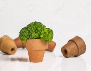 One stand brocoli in small pot