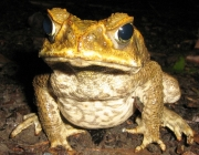 Cane Toad (Bufo marinus). Townsville, Queensland, Australia