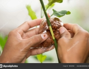 Agriculture technical of grafting lemon branchs