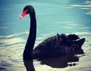 Ganso preto na lagoa