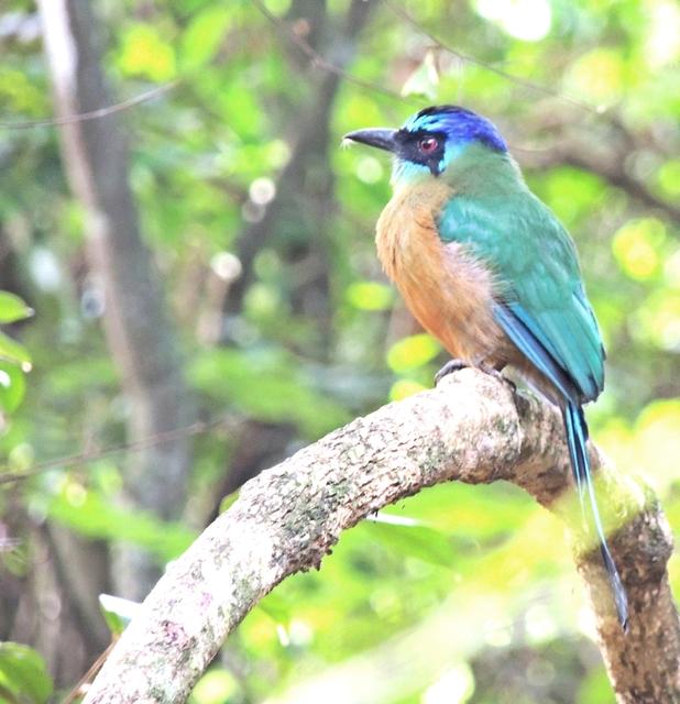 Udu-de-Coroa-Azul 4