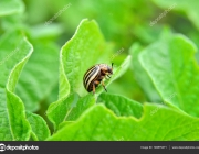 Colorado beetle eats a potato leaves young. Pests destroy a crop in the field. Parasites in wildlife and agriculture.