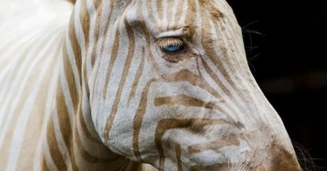 Zebra com Listrar Dourada 3
