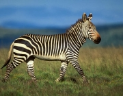 Cape Mountain Zebra, Equus zebra zebra, endangered species, Mountain Zebra National Park, South Africa