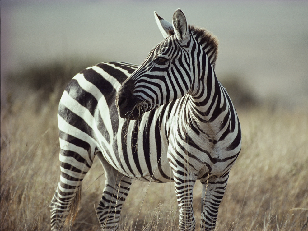 A close view of a Burchell's zebra (Equus burchelli).