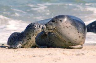 Mãe e Filhote de Foca Comum na Beira da Praia
