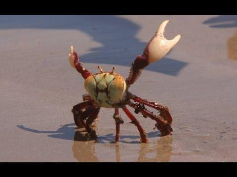 Caranguejo Uçá Parecendo Estar Fazendo Pose Para a Foto