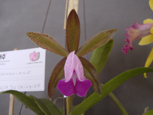 Cattleya Dormaniana