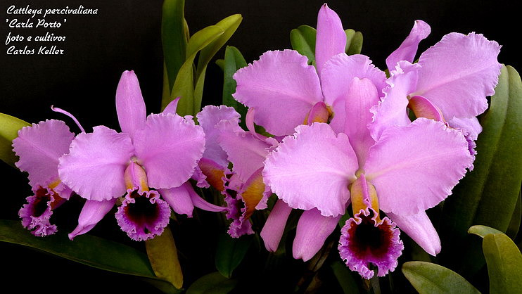 Cattleya Percivilliana
