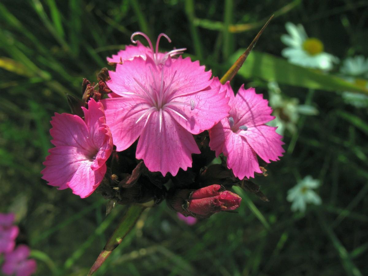 Dianthus Capitatus
